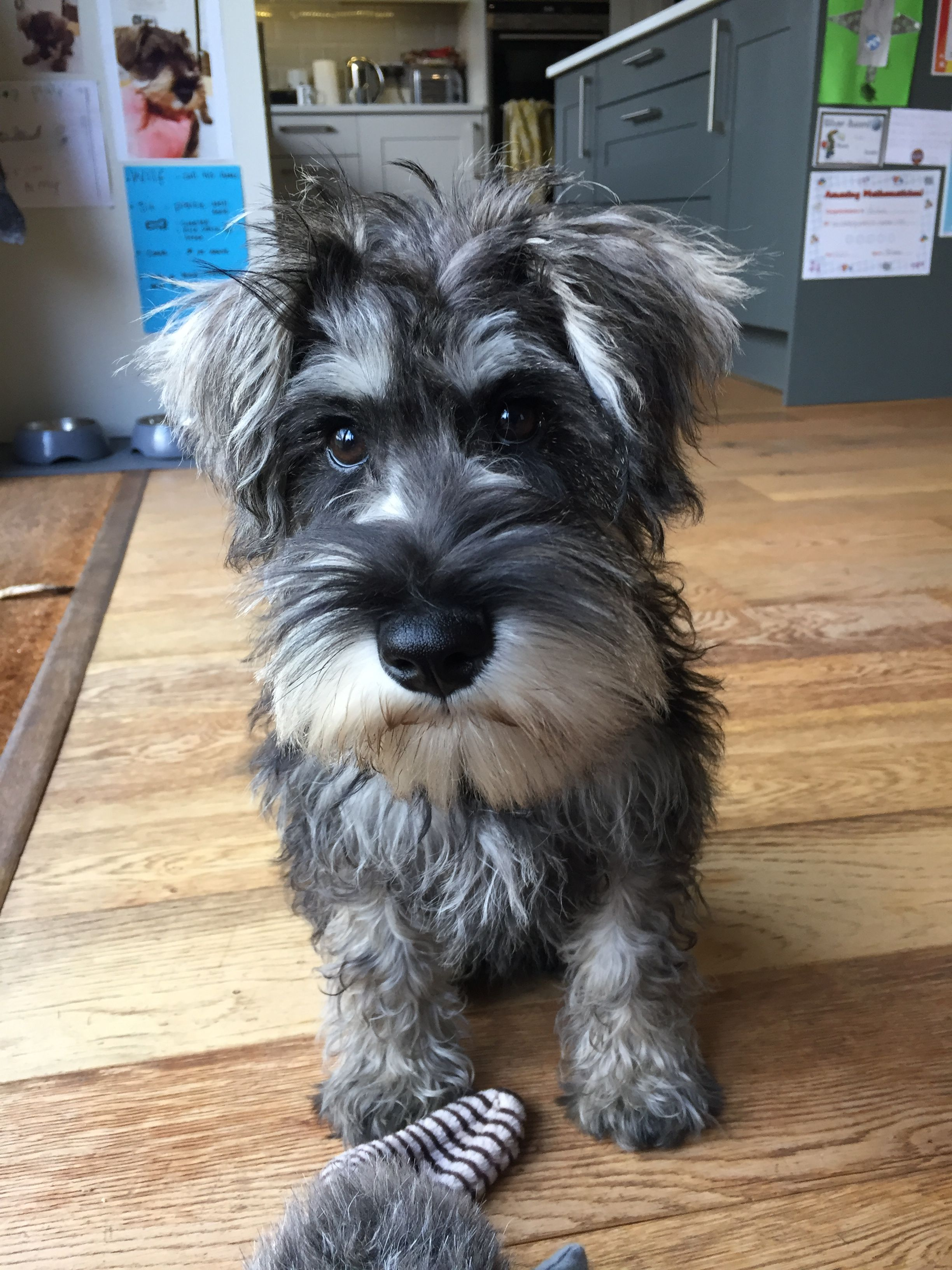 Schnoodle Noodle Salt And Pepper Lovely Puppy Schnauzer Miniature Schnauzer Puppies Miniature Schnauzer Black