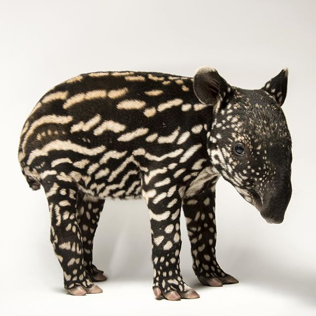 A six-day-old Malayan tapir at the #mnzoo. In the wild, such spots would help to camouflage this baby as it rests in dappled sunlight on the rainforest floor. Photo by @joelsartore #PhotoArk
