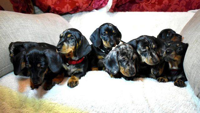 Kc Reg Dapple Black Tan Miniature Dachshund Pups Crufts Unusual