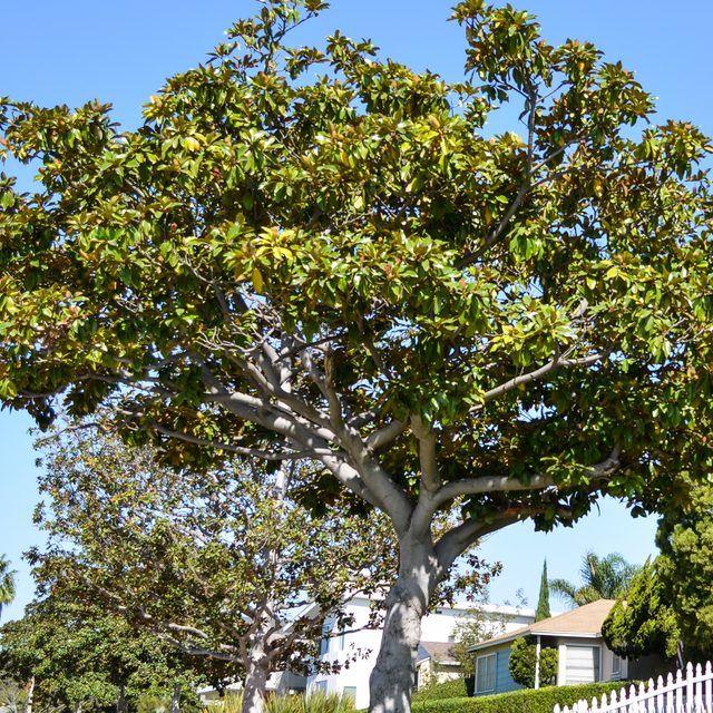 How To Fertilize Magnolia Trees Plants Magnolia Trees Magnolia