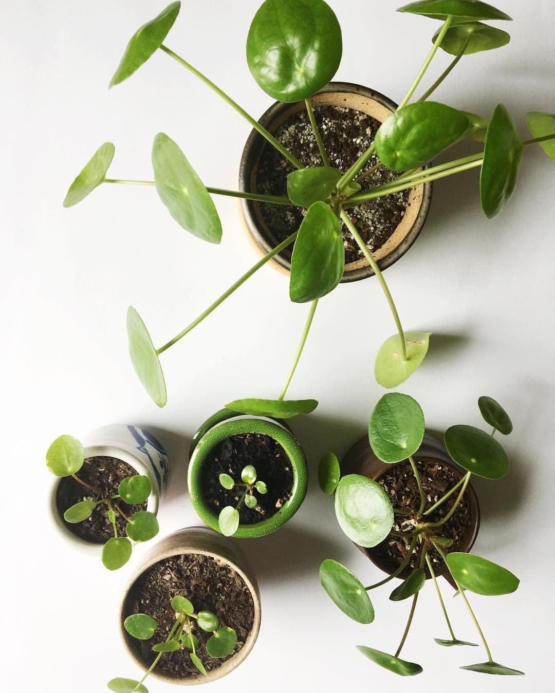 Robuste Zimmerpflanzen Pilea Peperomioides Troubleshooting Q A I Heart Green Spaces