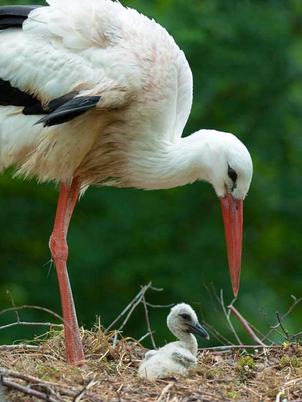 White Stork and baby (Ciconia ciconia) breeds in Europe, Northwest Africa and Southwest Asia