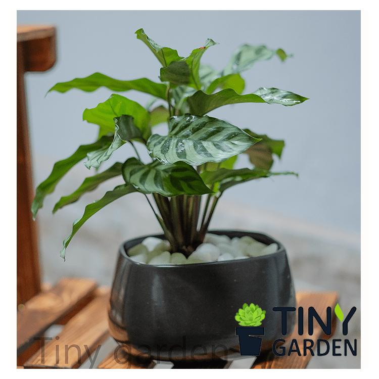 Ghim của Tiny Garden trên Cây phong thủy Cây, Phong thủy