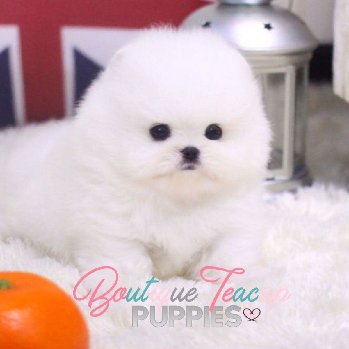 Micro Teacup Pomeranian Puppies For Sale In Texas White Miniature Toy Pom Puppies Pomeranian Puppy Teacup Pomeranian Puppy For Sale White Pomeranian Puppies