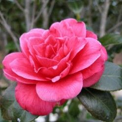 How To Grow Gorgeous Camellias From Cuttings Camellia Plant