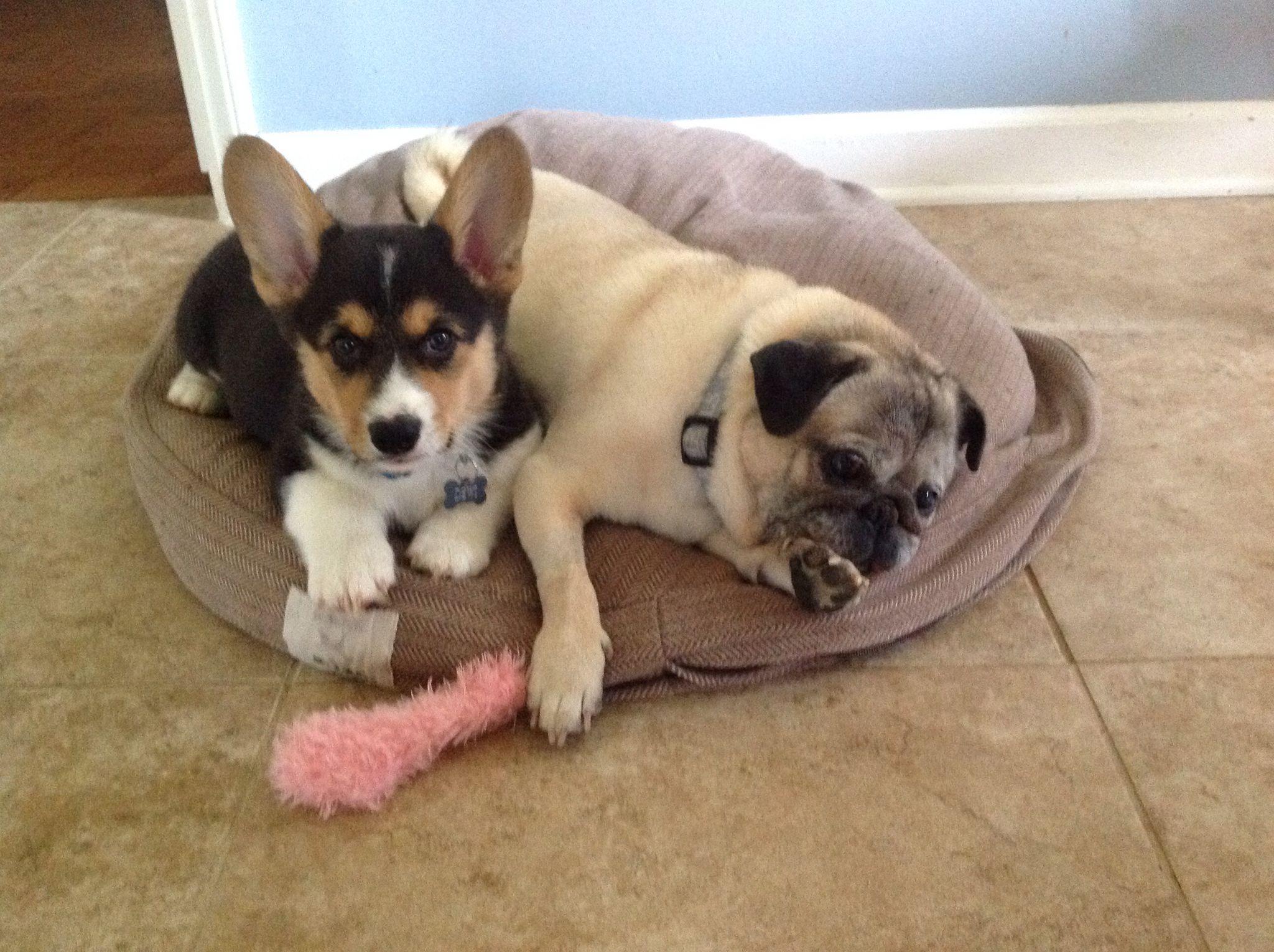 Dewi The Corgi Puppy And Otis The 14 Year Old Pug Corgi Pets