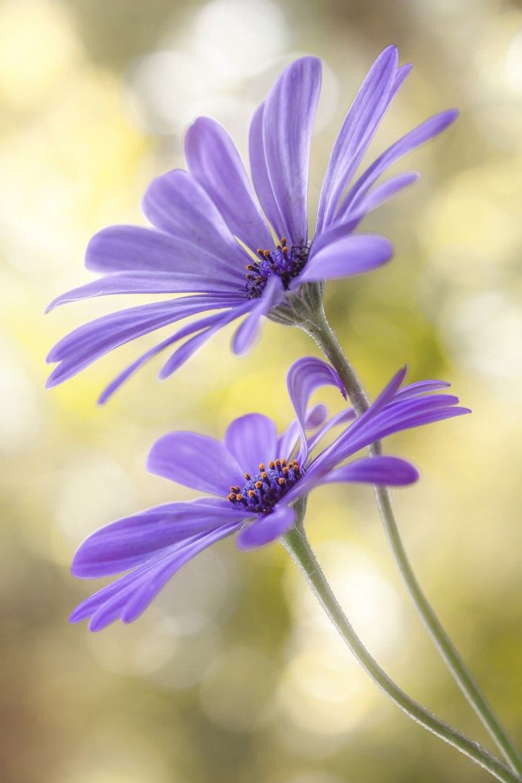 Purple Cape Daisies   美しい花, きれいな花, 花の写真