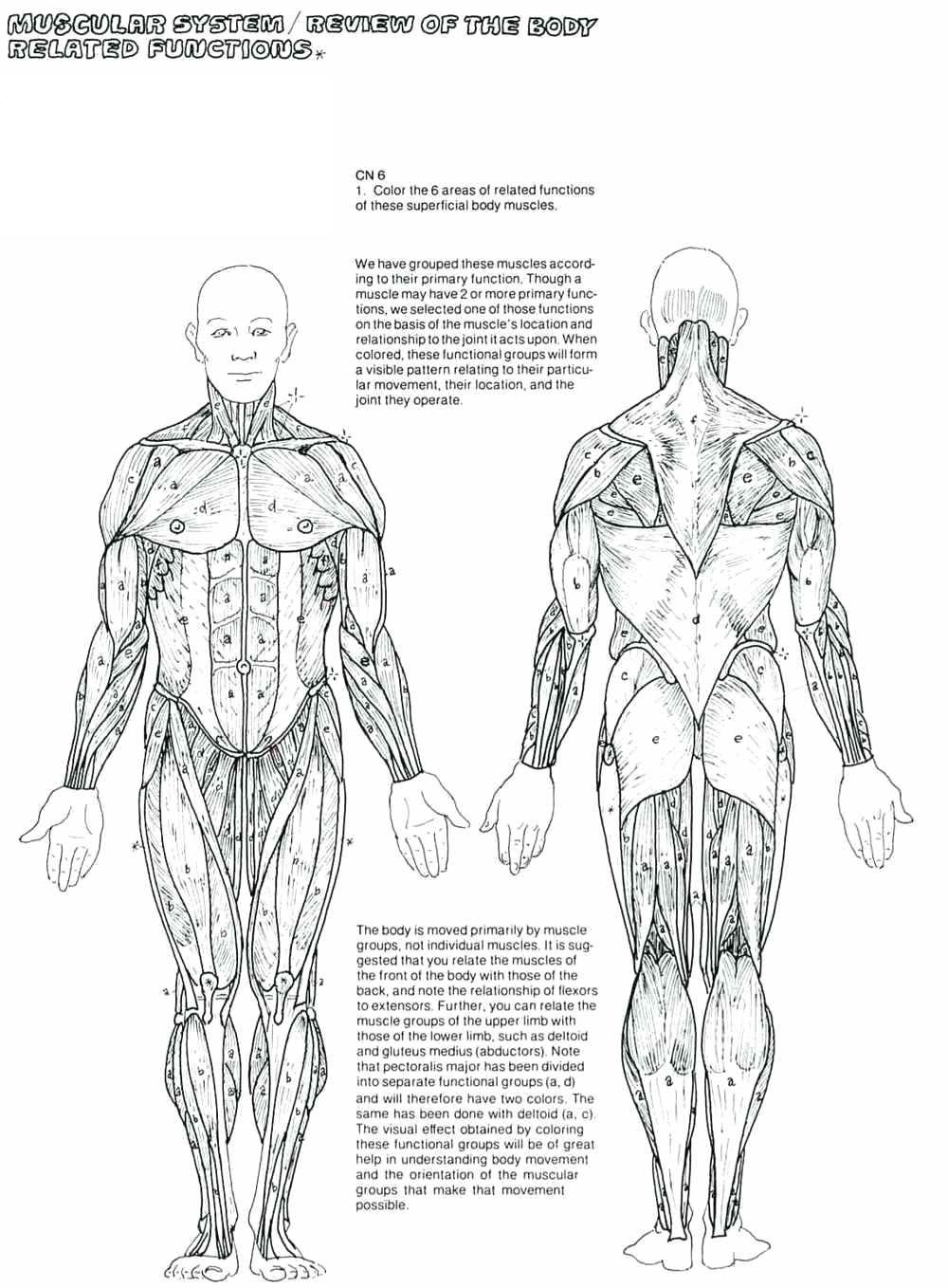 Human Superficial Muscles System Coloring Worksheet