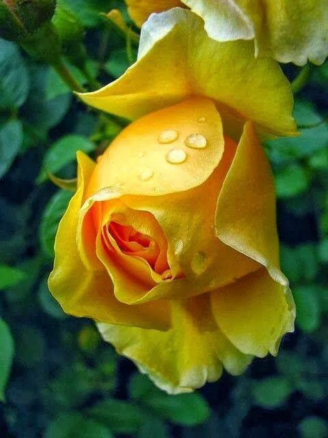 Drops Of Water On A Yellow Rose Yellow Roses Beautiful Flowers