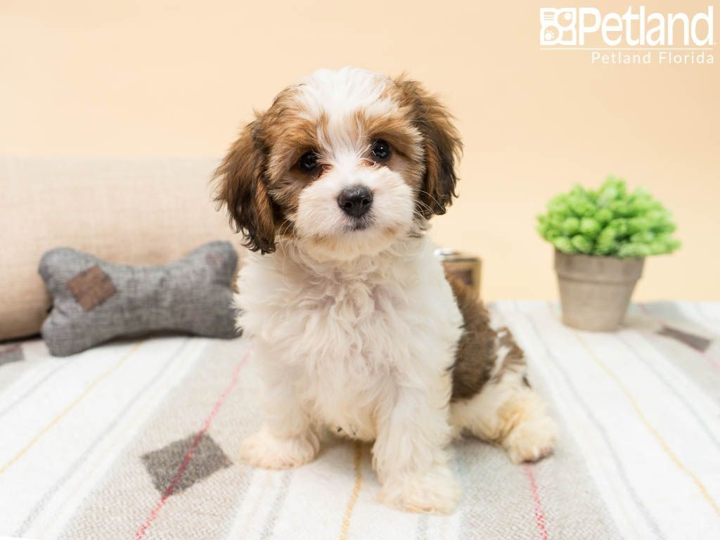Puppies For Sale Cavapoo puppies, Cavapoo puppies for
