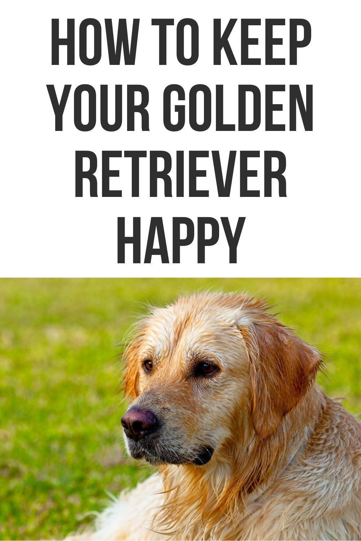 How to keep your golden retriever happy golden retriever