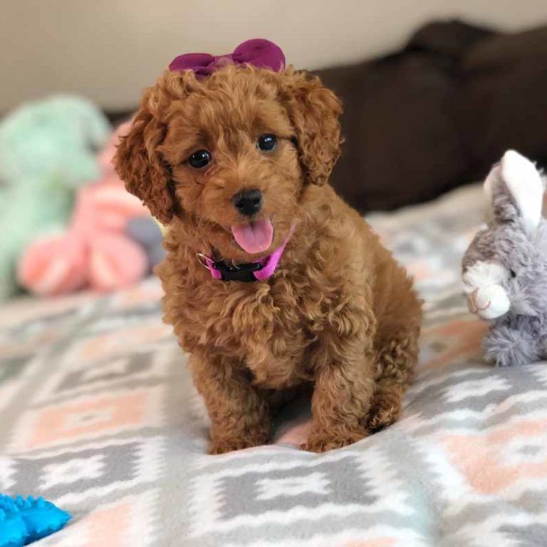 Teacup Labradoodles Toy Labradoodle Labradoodle Teddy Bear Puppies