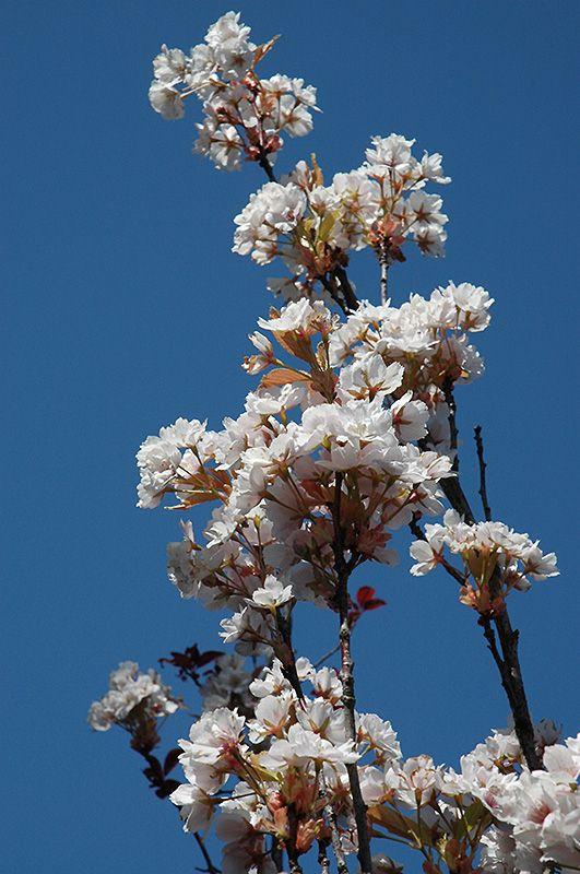 Amanogawa Flowering Cherry Prunus Serrulata Amanogawa At Connon Nurseries Cbv Prunus Serrulata Deciduous Trees Prunus