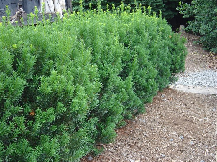 Beautiful Hicks Yew Hedge With Natural Growth Habit Rather Than Sheared Into A Box Garden Shrubs Plants Yew Shrub