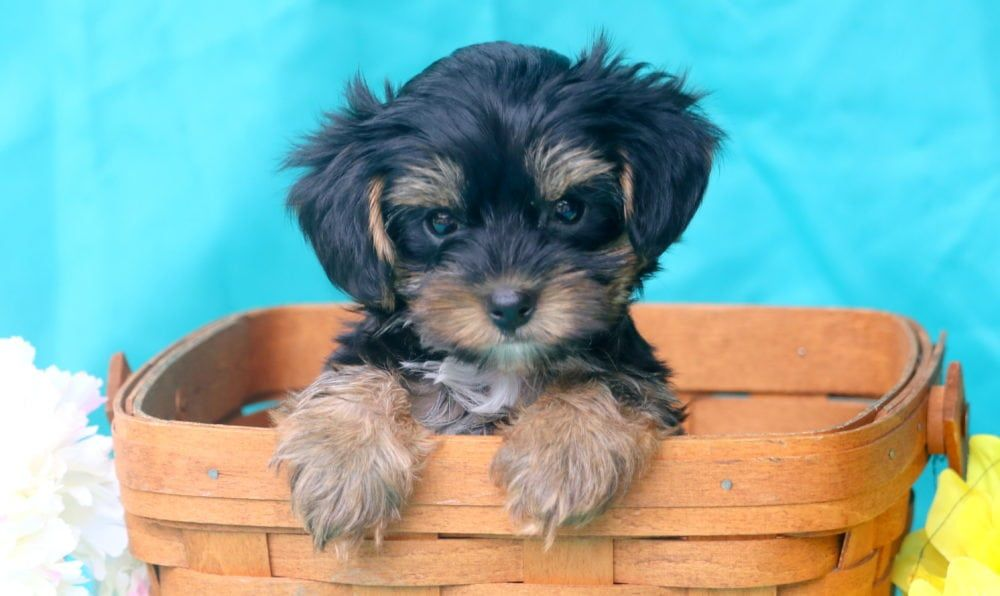 Sport Puppies For Sale Puppies Yorkie Poo Puppies