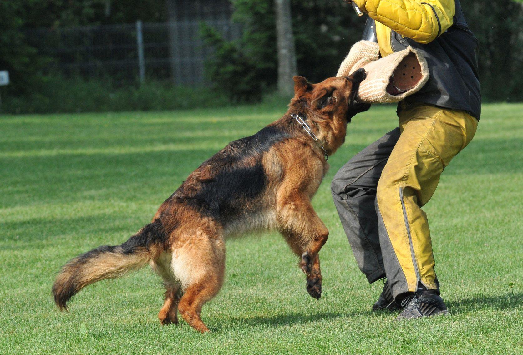 Pitbull Puppies German Shepherd Dogs Dog Training