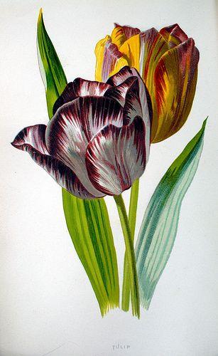 Tulip, plate in Shirley Hibberd's 'Familiar garden flowers' (1877-188-)