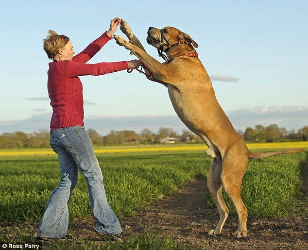 Great Dane Tower Greatdanes Giant Great Danes Animals