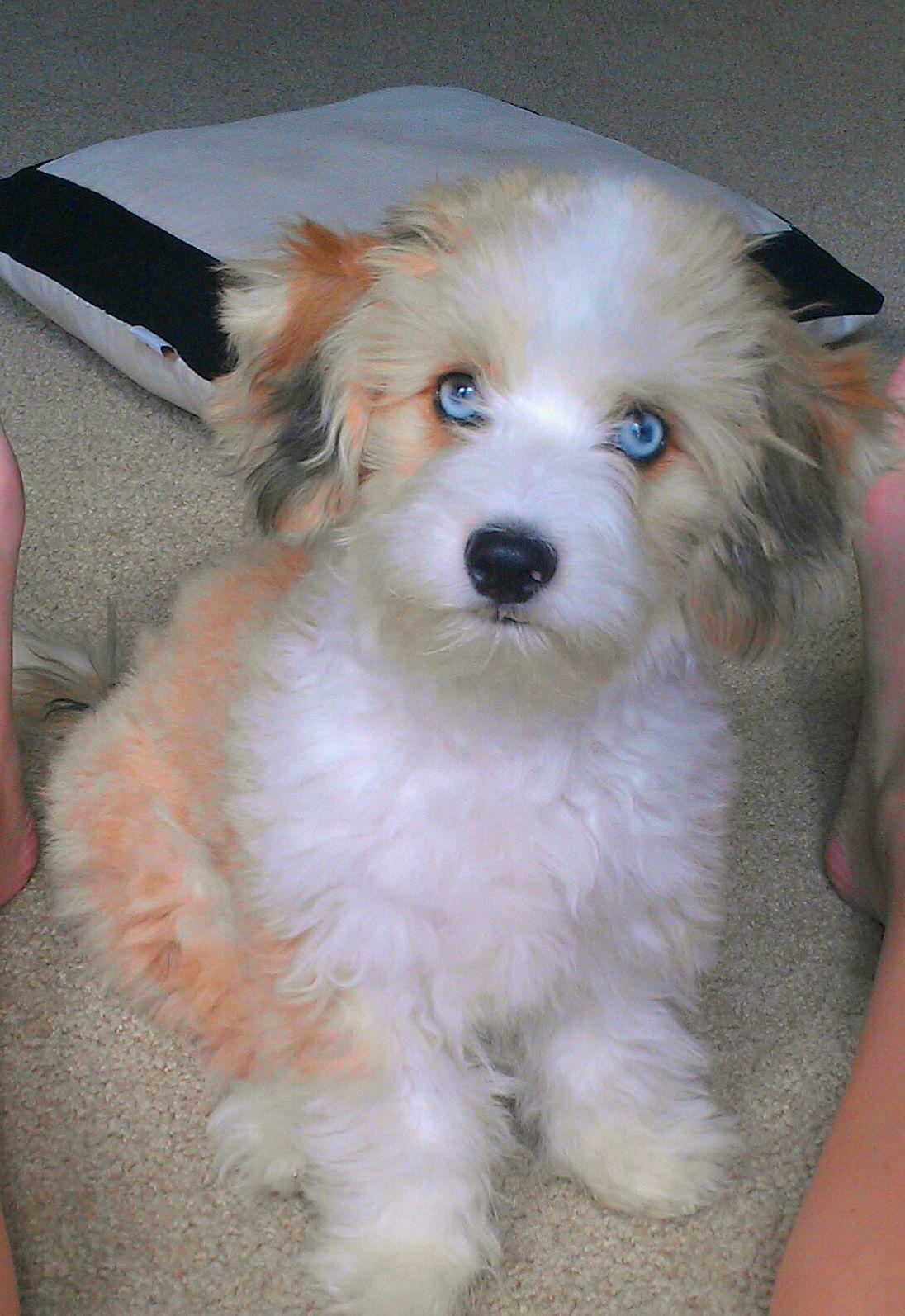 Mini Aussie Bichon Puppy Aussiechon Puppies Pet Care Dogs Dog Movies