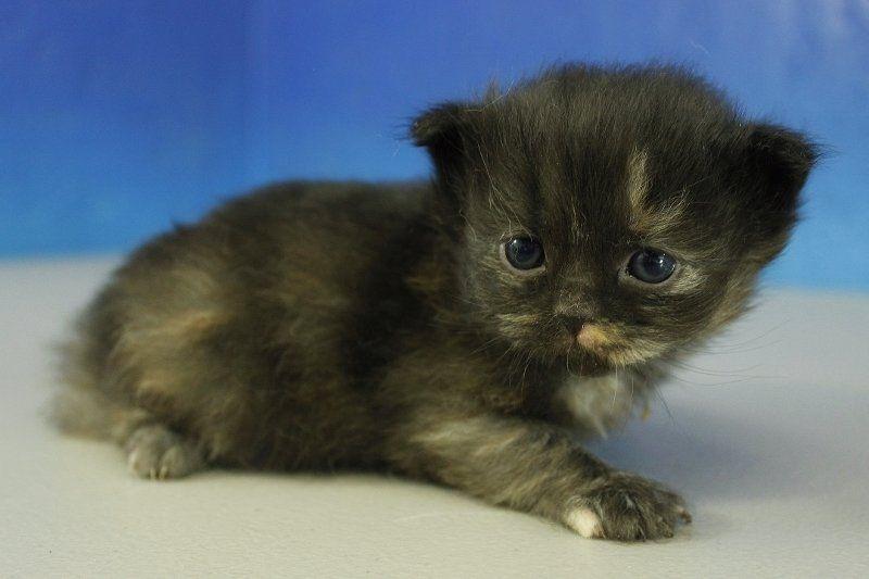 Haley Black Calico Solid Female Ragamuffin Kitten Kedi