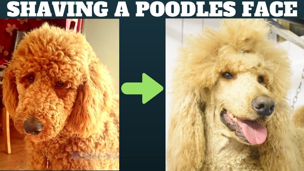 How To Shave A Poodles Face Dog Grooming Tutorial Standard Minature Or Toy Poodle Youtube In 2020 Dog Grooming Poodle Puppy Dog Face