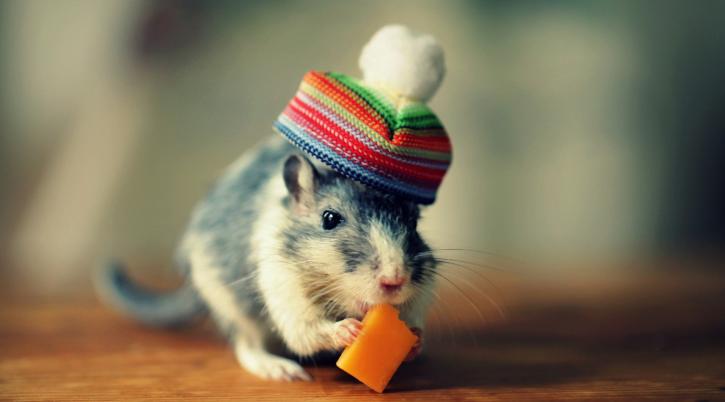 Hình Ảnh Con Chuột Hamster Dễ Thương Kute Nhất Thế Giới. Những Hình Ảnh Con