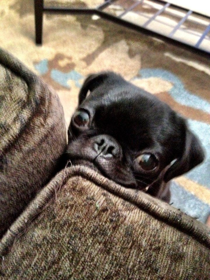 Mr. Pug sees that you're hiding snacks