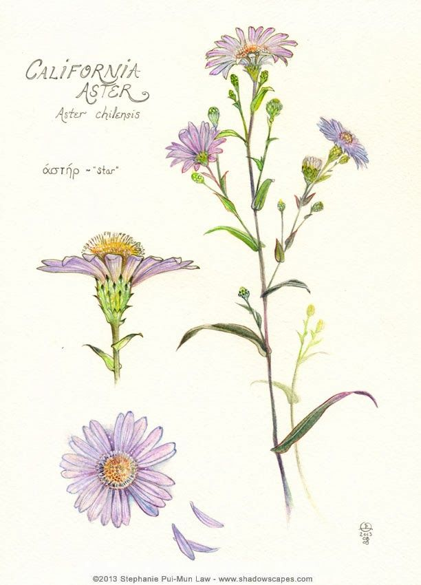 Botanical Illustrations Midnight Ramblings Aster Flower Tattoos Birth Flower Tattoos Aster Tattoo