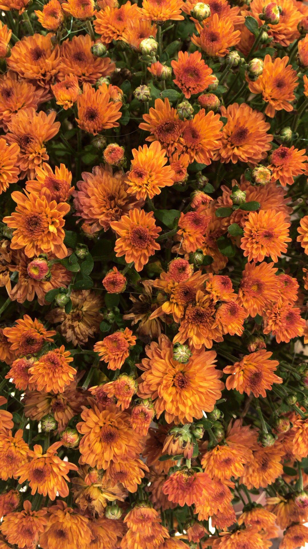 Flower Wallpaper Potted Mums Flowers Perennials Planting Mums