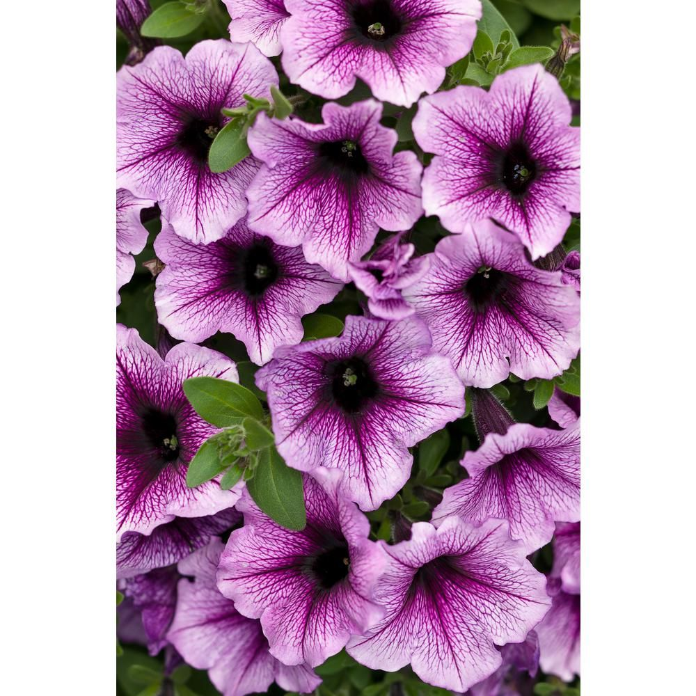 Proven Winners 4 Pack 4 25 In Grande Supertunia Bordeaux Petunia Live Plant Purple Flowers Supprw1267524 Petunias Flower Landscape Flower Garden Design