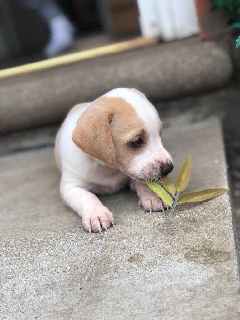 Image Result For Beige Beagle Beagle Animals Labrador Retriever