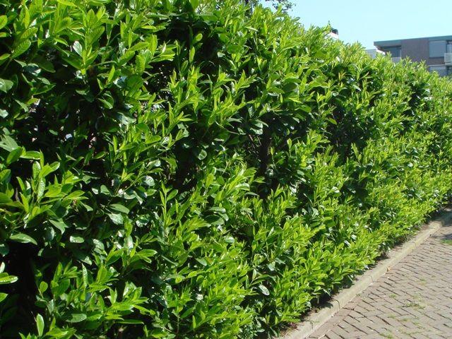 Viburnum lucidum Laurocerasus, Prunus, Garden