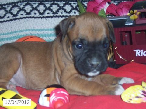 Angie Boxer Puppy for Sale in Denver, PA Boxer Puppy