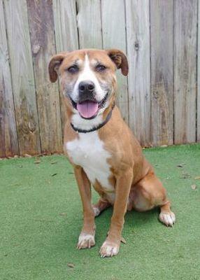 Inverness, FL Boxer. Meet Maverick a Pet for Adoption
