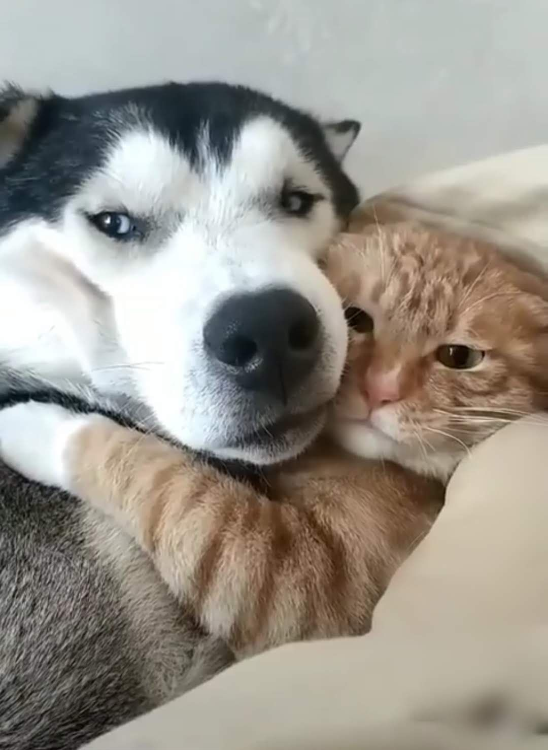 Cat hugging a huskys face socute animalfriends