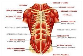 López Hernández Aide Ivon Anatomía Muscular Músculos