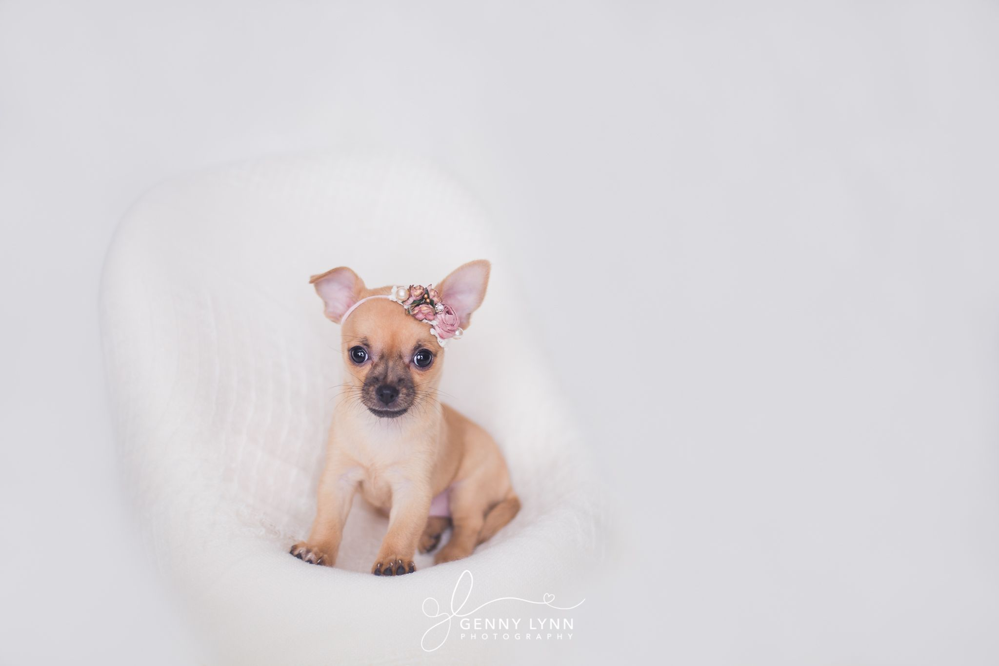 Puppy Photography Newborn Family Chihuahua Picture Hollywood