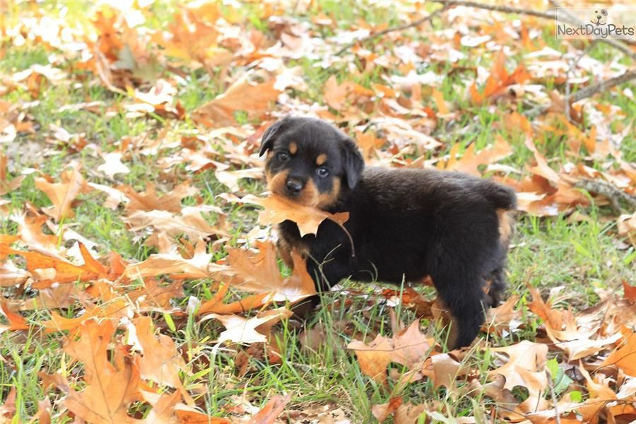 Meet AXEL a cute Rottweiler puppy for sale for 1,000. AKC