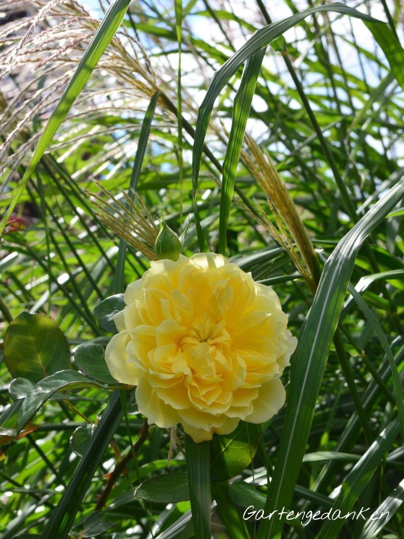 Garten Im September joelle marouani vor chinaschilf miscanthus sinensis