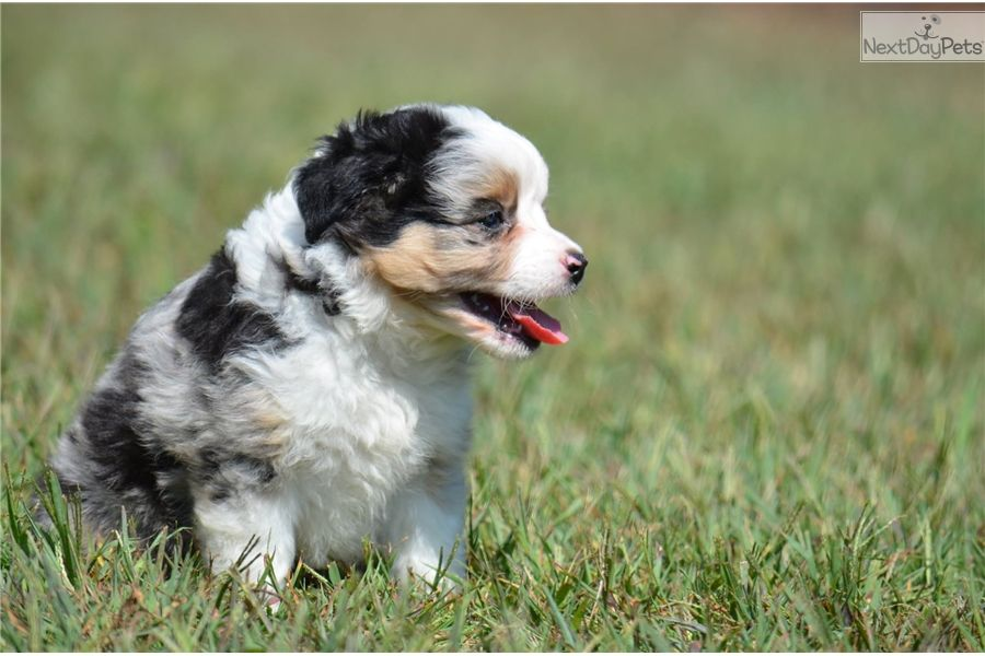 Australian Shepherd Puppy For Sale Near Knoxville Tennessee