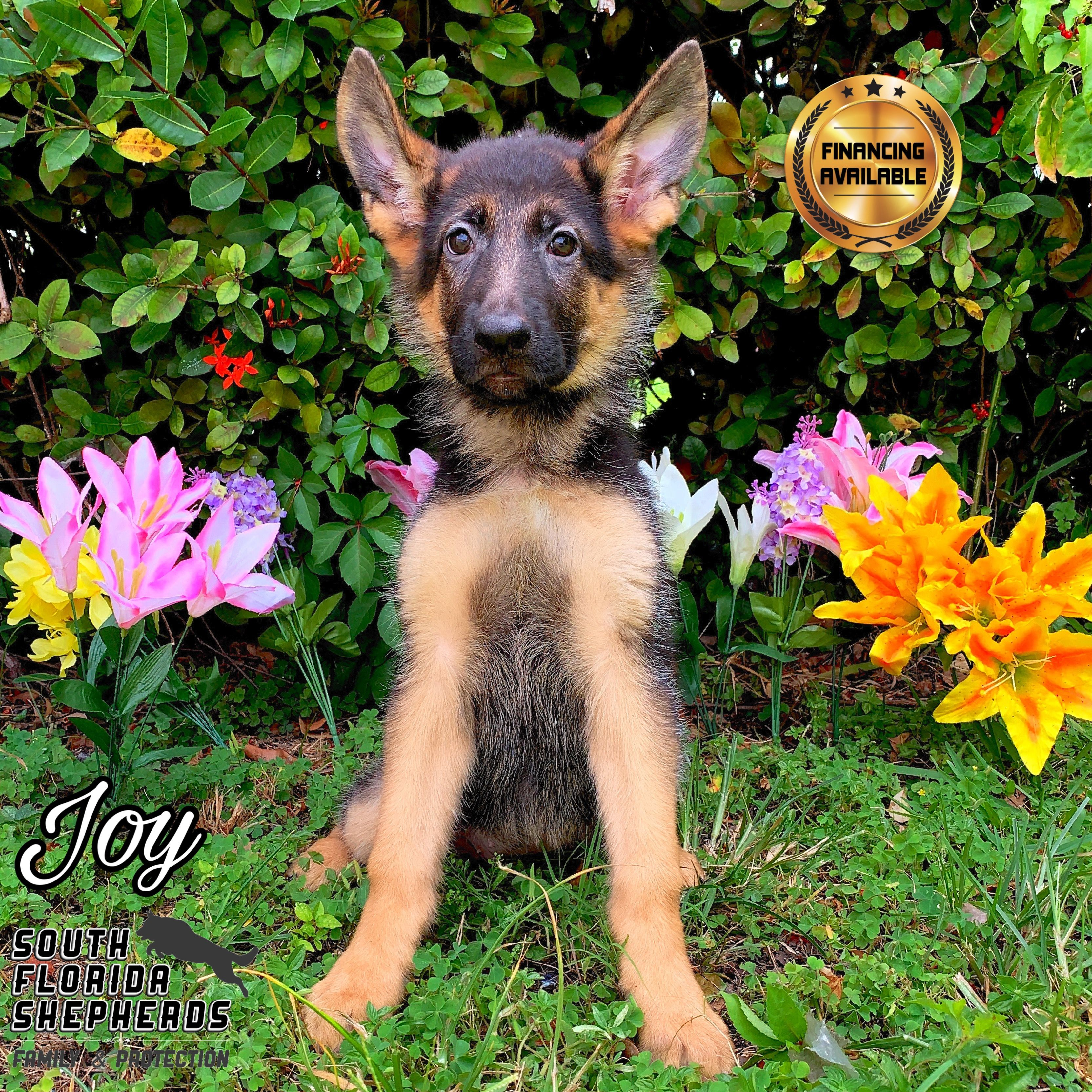 German Shepherd Puppies Florida Breeders