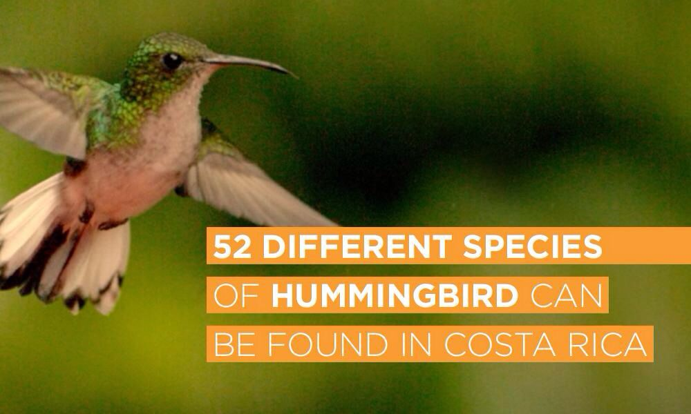 52 Different Species Of Hummingbird Can Be Found In Costa Rica Costa Costa Rica Species