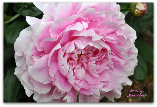 All Things Peony - All Things Home Related
