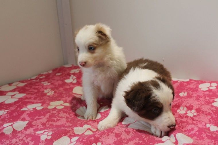 Red Blue Merle Red White Kc Redg Puppies Ashbourne