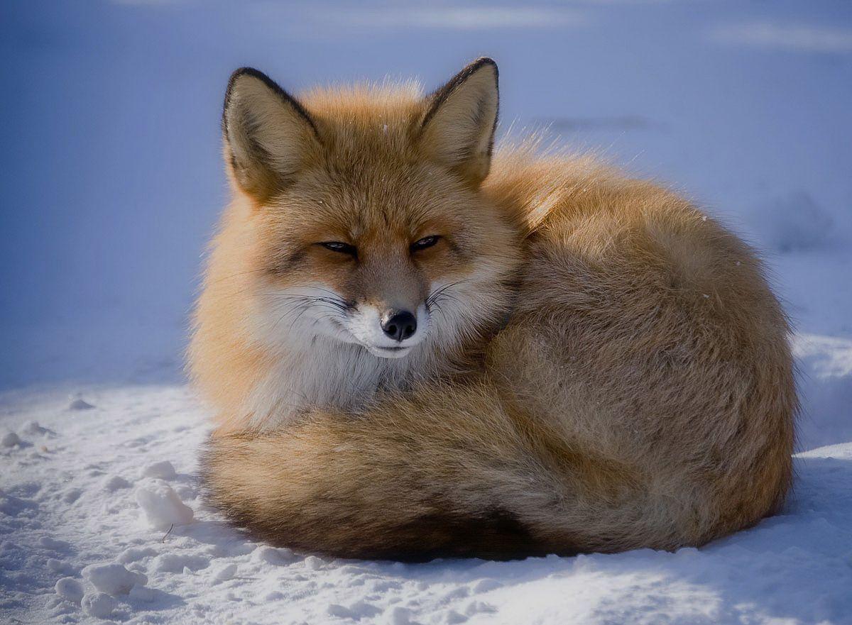 смотреть картинки про лису ведут они там