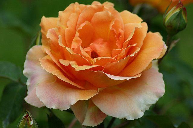 "Bronze Star Rose, Rosa ""WEZaprt"" Bronze Star   Flickr - Photo Sharing!"