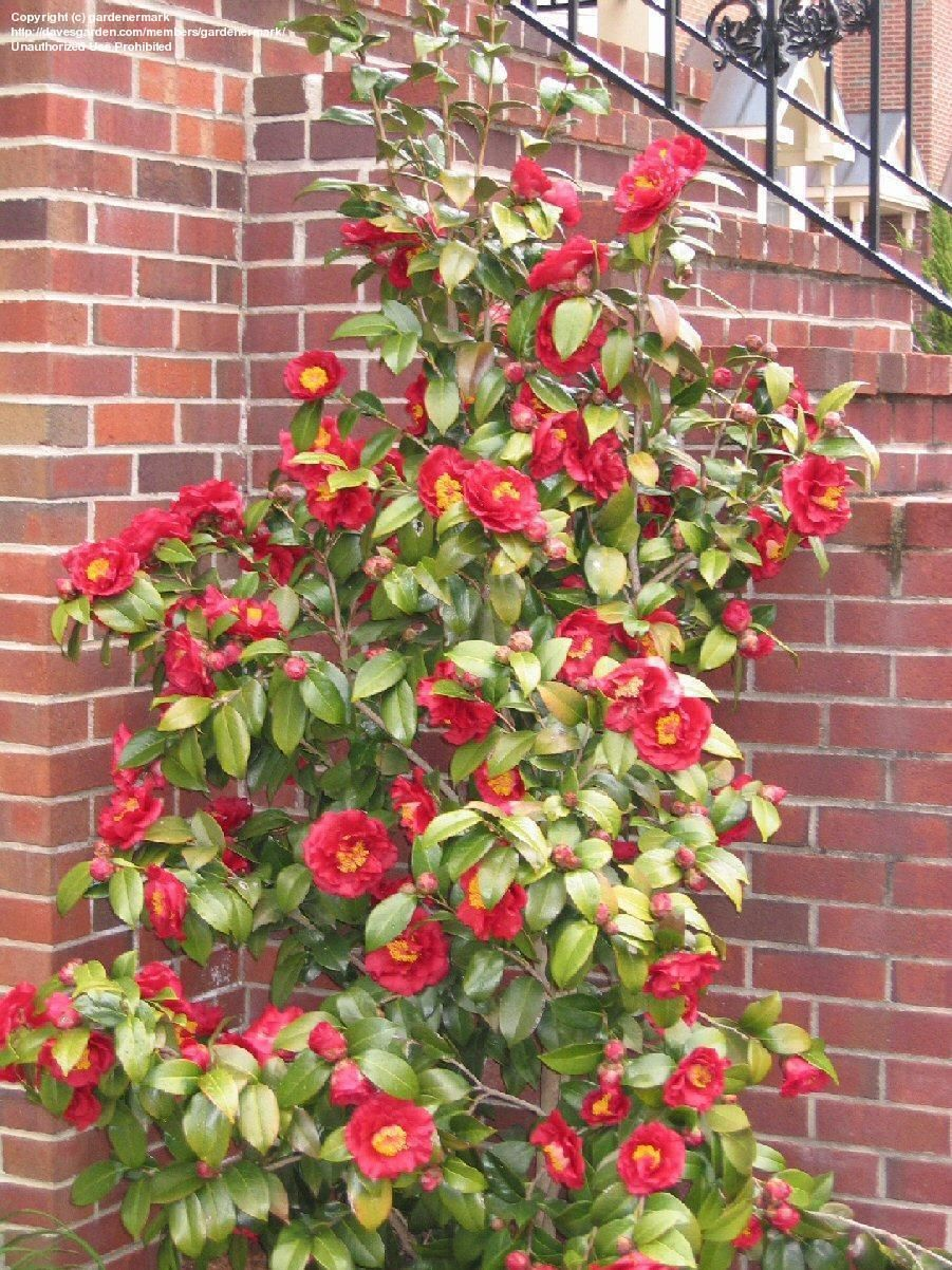 Plantfiles Pictures Common Camellia Japanese Camellia Bob Hope Camellia Japonica 1 By Gardenermark Forest Garden Landscaping A Slope Plants