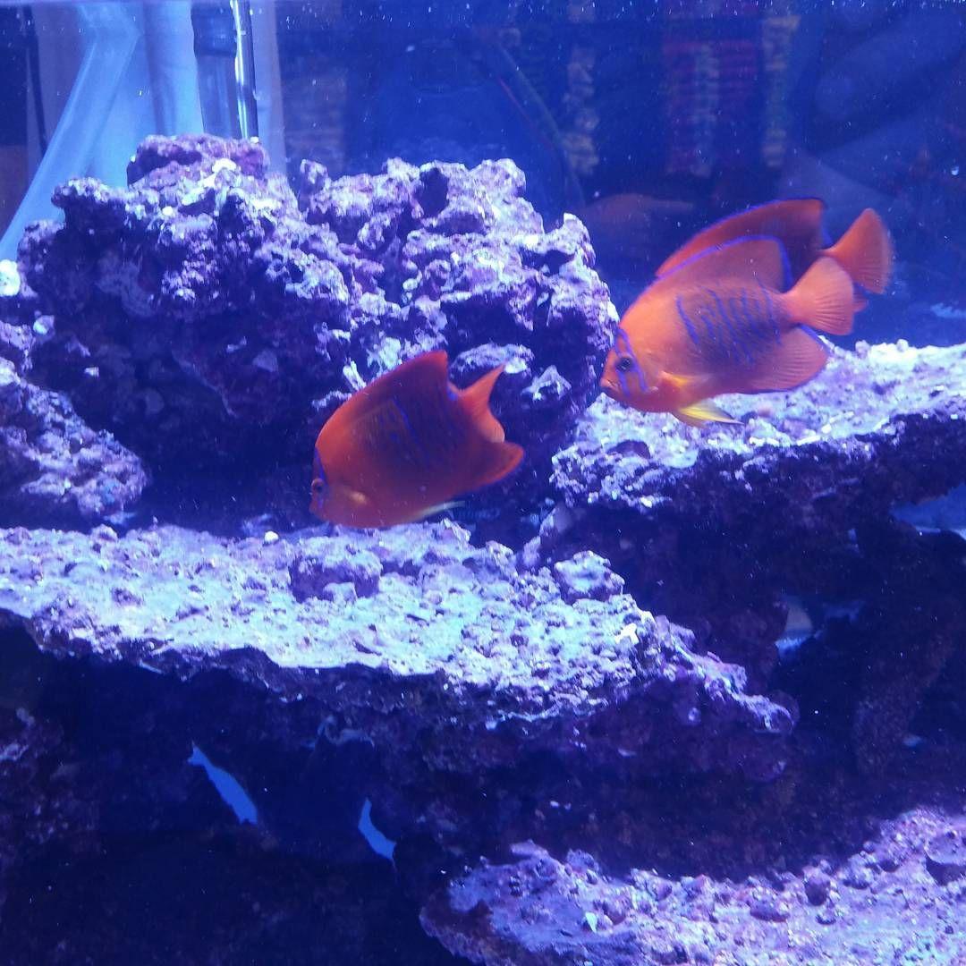 Clarion Angles Anyone Macna Reeffish Saltwaterfish Reefaquarium In 2020 Salt Water Fish Fish Fish Pet