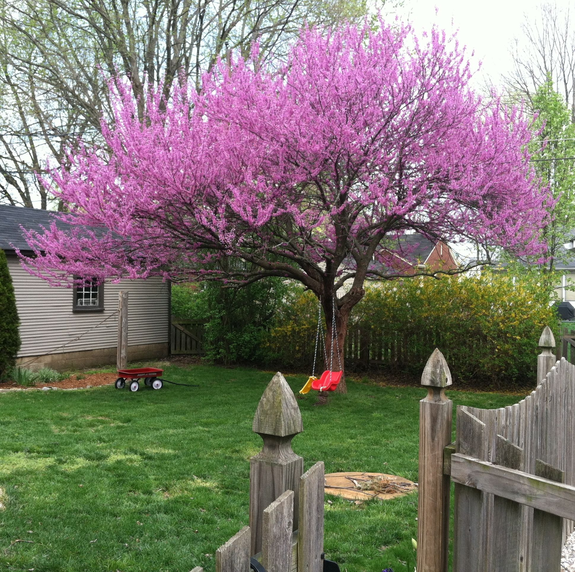 Western Redbud Good Next To A Retaining Wall Flowering Trees