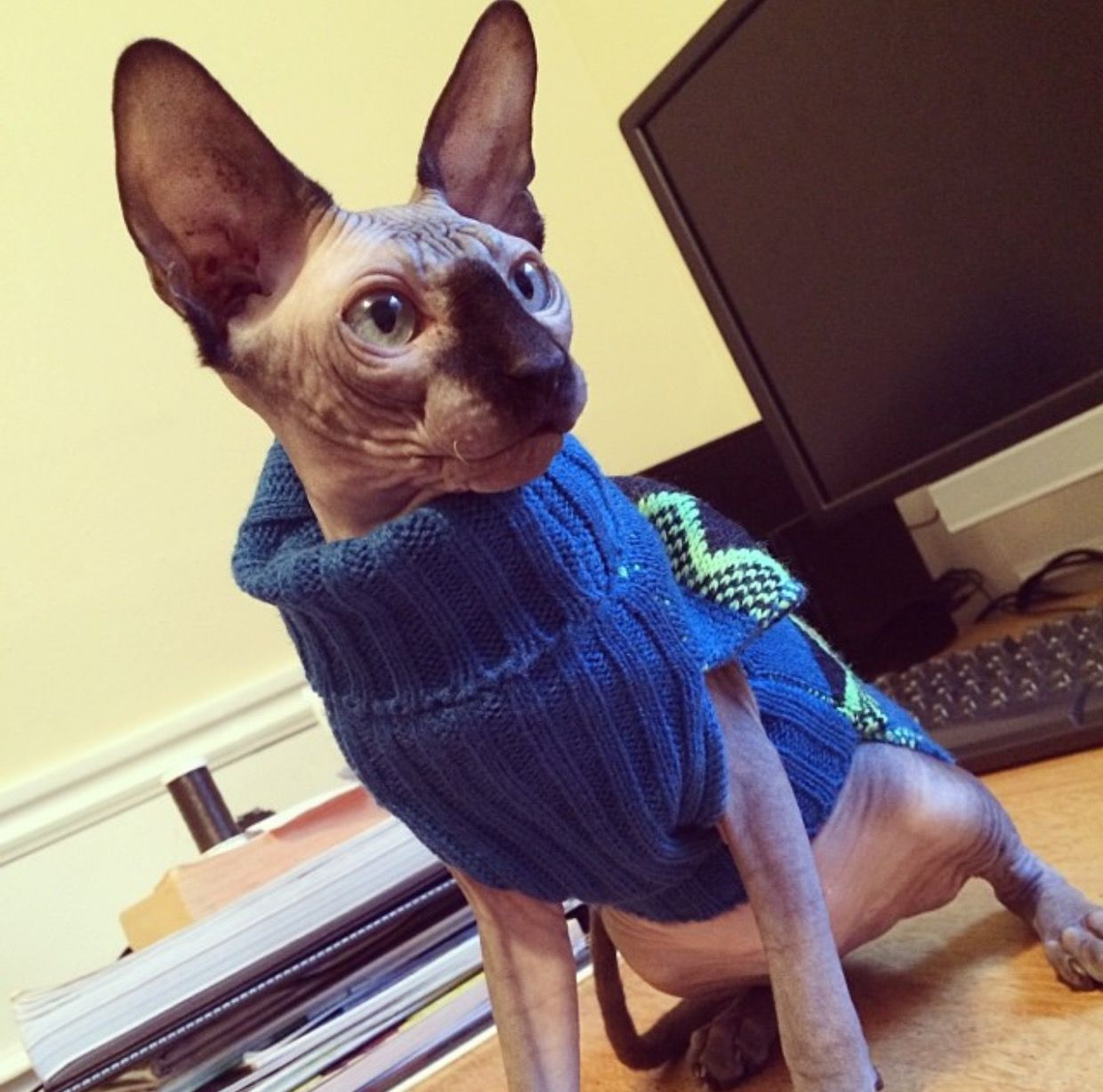 Hairless cat rockin the knitted sweater sphynx Hairless